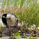 Nesting Loons 1 by Loon-Images