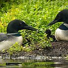 Nesting Loons 2 by Loon-Images