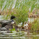 Nesting Loons 3 by Loon-Images