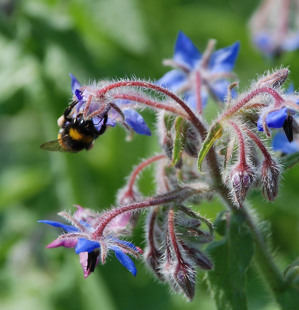 Bees and Borage by jojobob