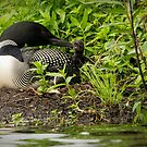 Nesting Loons 5 by Loon-Images