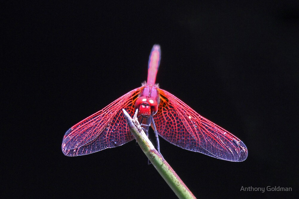 A colorful dragonfly by Anthony Goldman