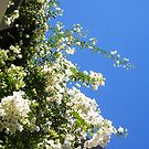 Bougainvillea -  23 11 12 - Four by Robert Phillips