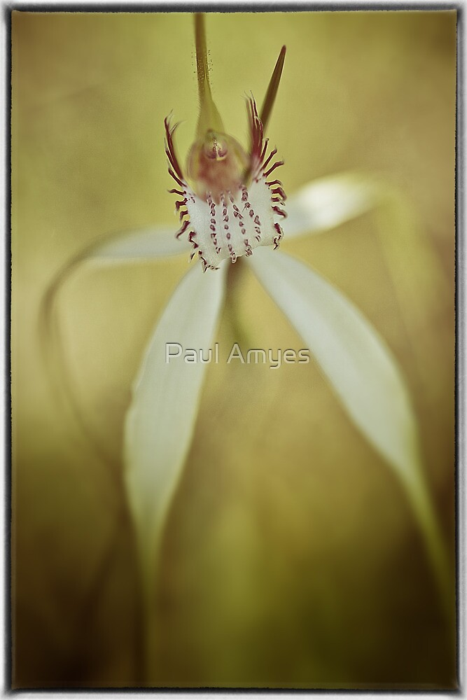 White Spider Orchid (Caladenia longicauda). by Paul Amyes