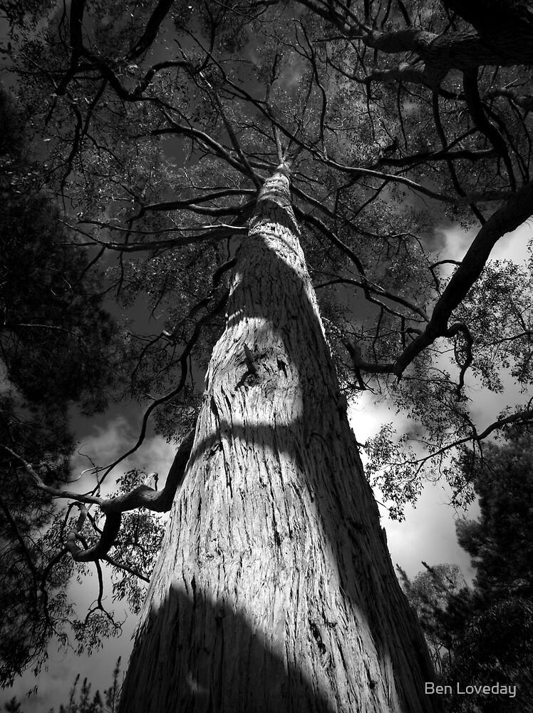 Scary Tree- Stringy Bark, Mount Lofty Botanic Gardens by Ben Loveday