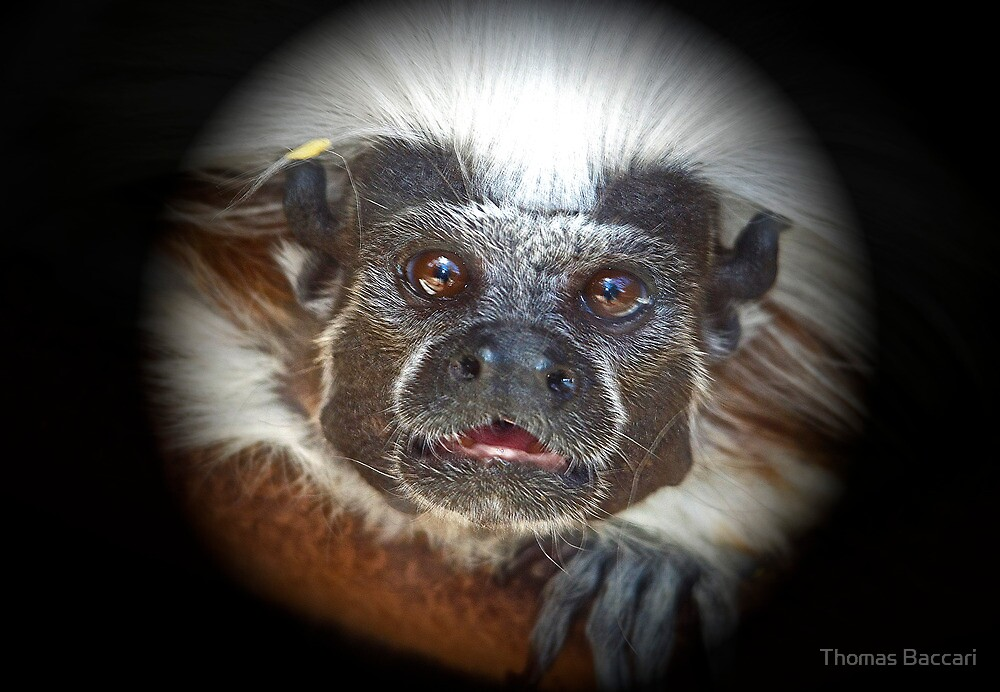 Tamarin Monkey Looking Right at Me by TJ Baccari Photography