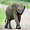 A NEW CHALLENGE ON THE AFRICAN ELEPHANT!