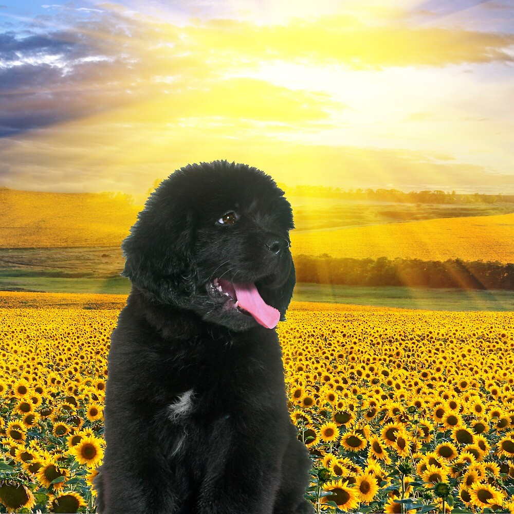 Newfoundland Puppy in the Sunflowers by Christine Mullis