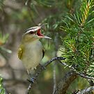 Screaming Red-eyed Vireo by Wayne Wood