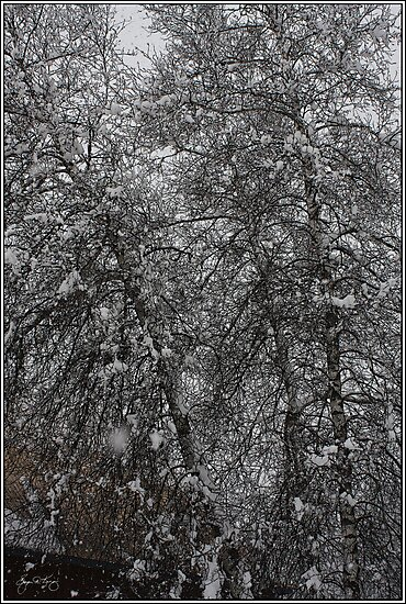 Grey Birch Details in a Snowstorm by Wayne King