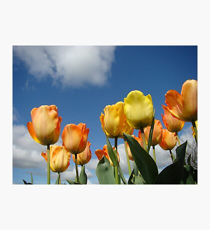 Orange Tulip Flowers art prints Spring Tulips Photographic Print