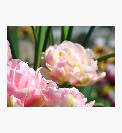 Pink Tulip Flowers Spring Tulips art prints Photographic Print