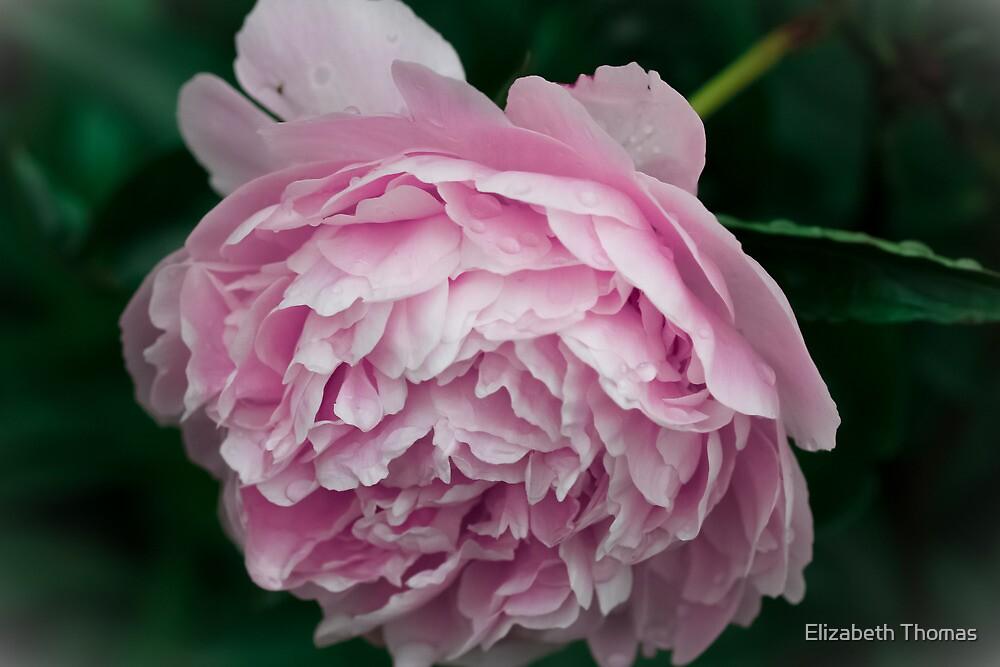 Pastel Pink Peony Flower by Elizabeth Thomas