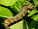 Grapevine moth caterpillar - Phalaenoides tristifica by Gabrielle  Lees