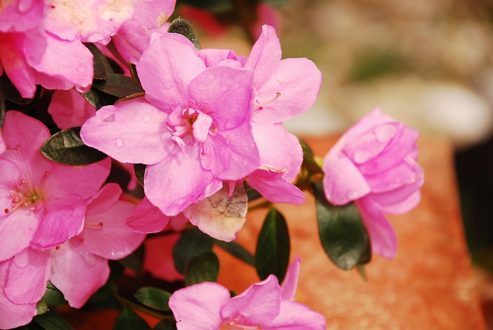 Pink Kirin Azalea by jojobob