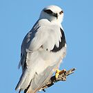 Black Shouldered Kite by robmac