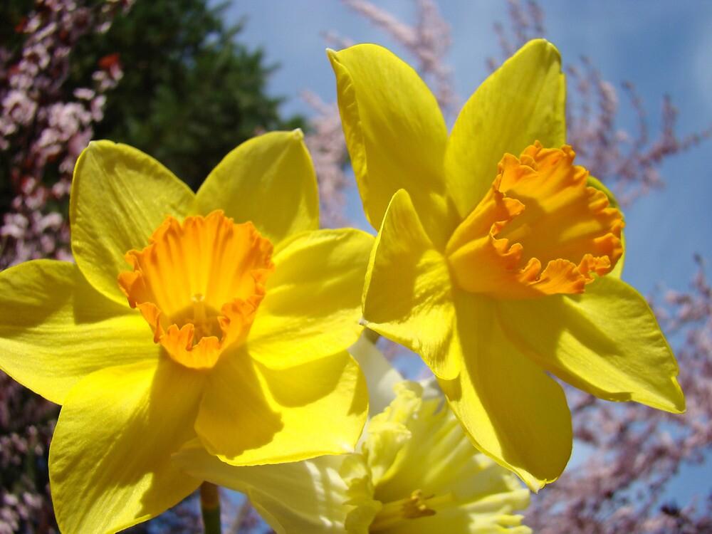 Orange Yellow Daffodil Flowers art prints Spring by BasleeArtPrints
