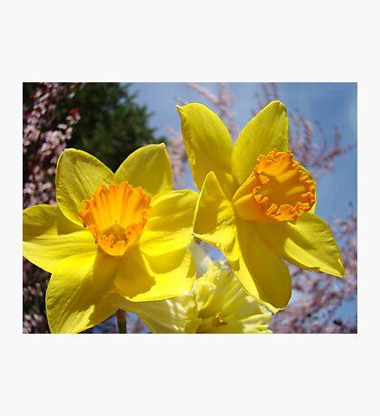 Orange Yellow Daffodil Flowers art prints Spring Photographic Print