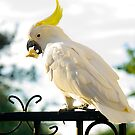 Sulphur Crested Cockatoo, Australian Native. by johnrf