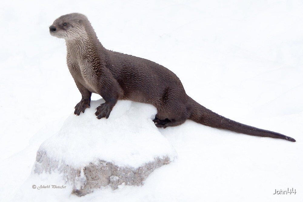 Canadian Otter by John44