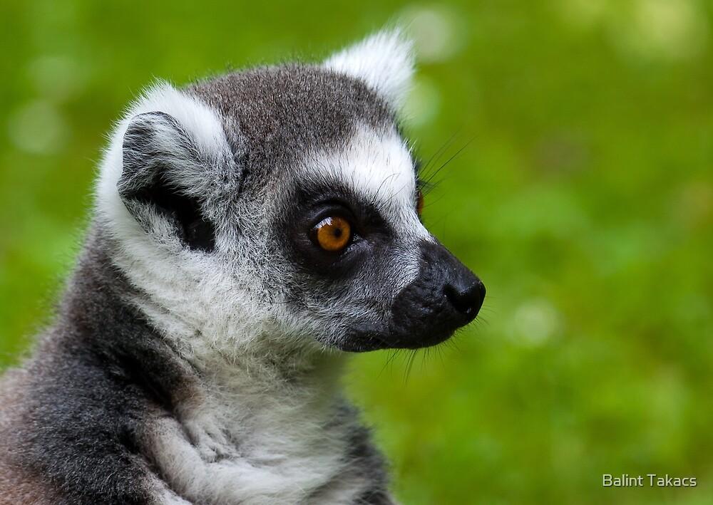 Lemur portrait by Balint Takacs