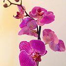 Pink delightful by Sazfab