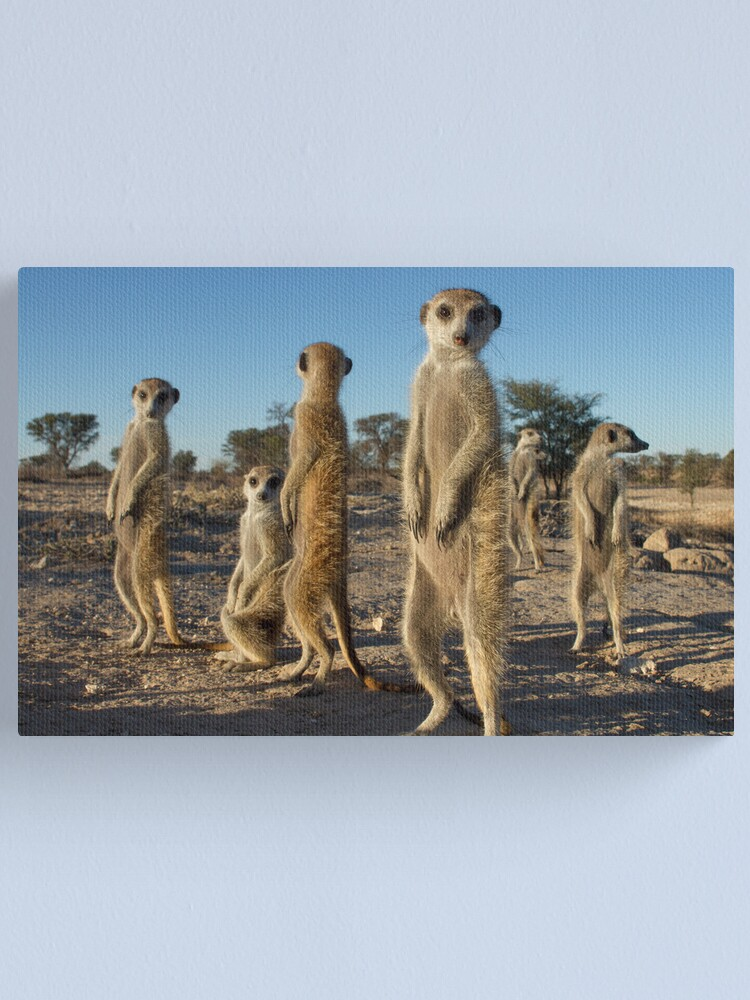 Alternate view of Meerkat morning Canvas Print
