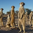 Meerkat morning by Anthony Brewer