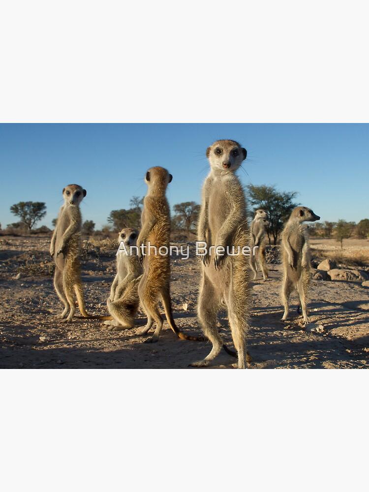 Meerkat morning by dailyanimals