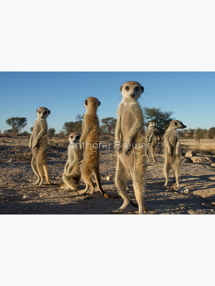 Meerkat morning by dailyanimals