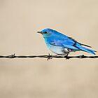 Mountain Bluebird: The B in RGB by John Williams
