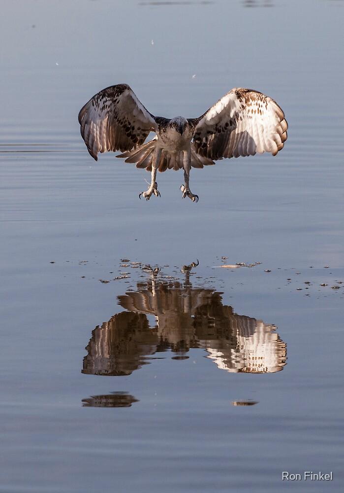 Osprey in flight by Ron Finkel