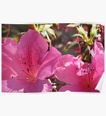 PInk trumpets Poster