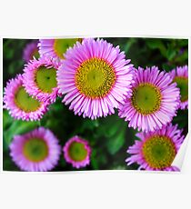 Pink Daisies Poster