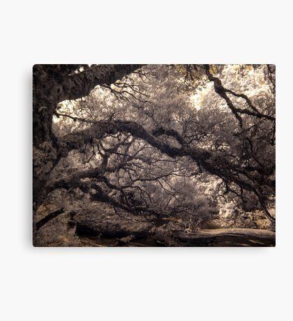 Pencil Pine Walk Canvas Print