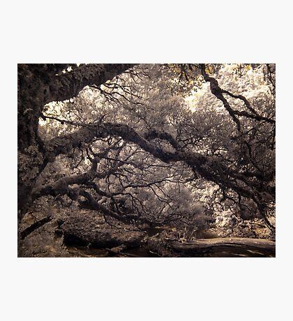 Pencil Pine Walk Photographic Print