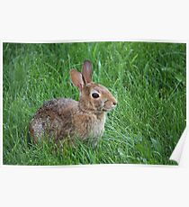 Backyard Bunny Poster