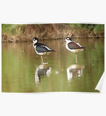 Black-necked Stilts  Poster