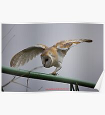 Concentrating barn owl Poster