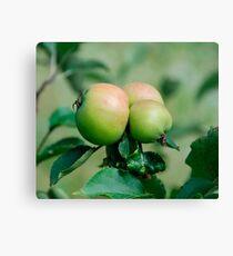 Lienzo Reddening Apples on a Tree