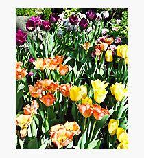 Rainbow of Tulips in Sunshine Photographic Print