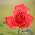 Open Rose by Bob Hardy