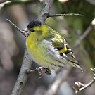 Siskin by dilouise