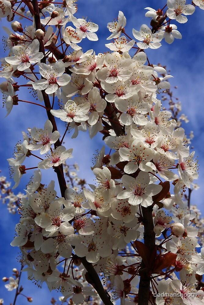 bountiful bough of beautiful blossoms by dedmanshootn