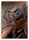 JUMPING SPIDER by Betsy  Seeton