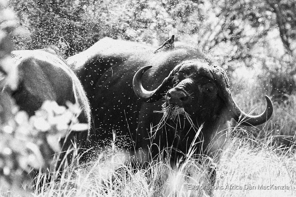 All abuzz by Explorations Africa Dan MacKenzie