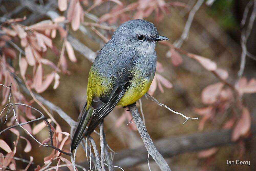 Western Yellow Robin by Ian Berry