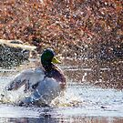 Duck in Sifton Bog! by vasu