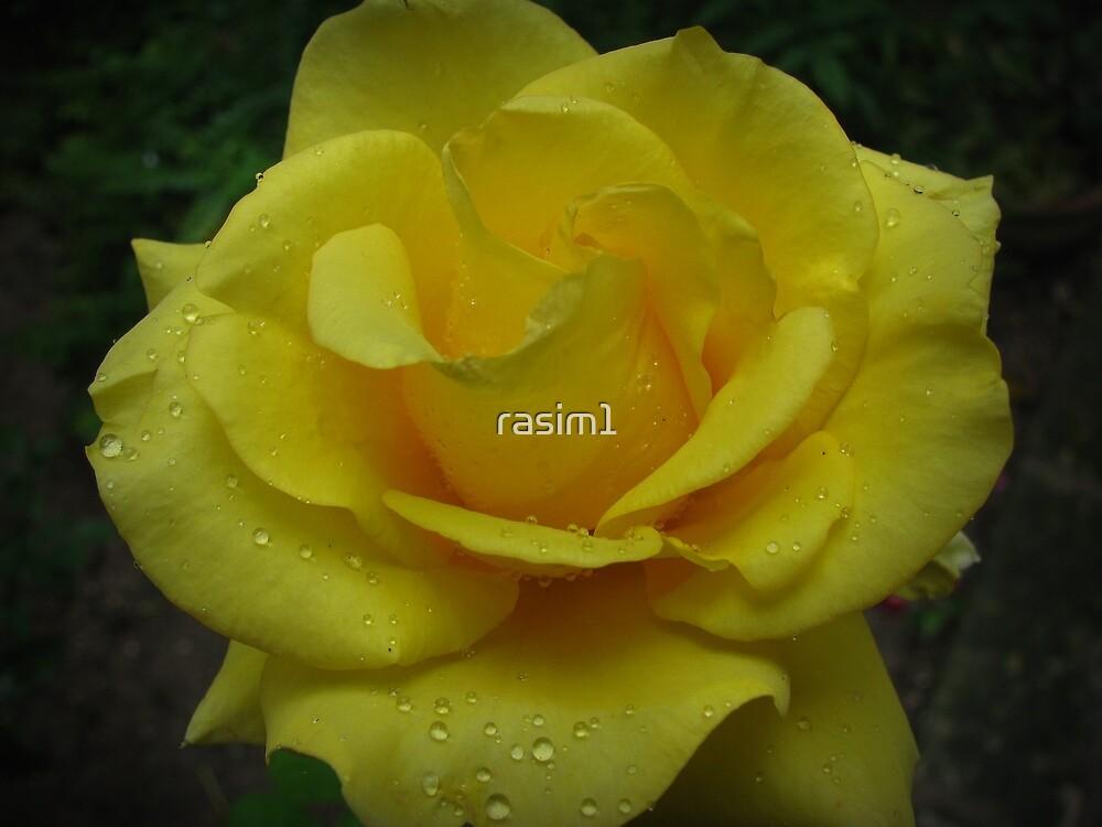 Yellow rose of Adana by rasim1
