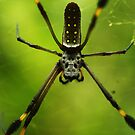 Orb Weaver Spider by Seth LaGrange